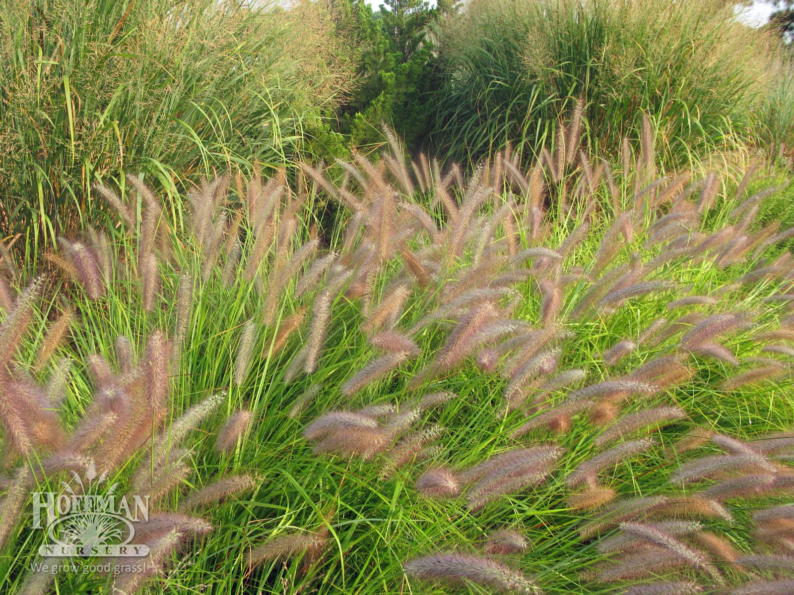 Red bottlebrush plumes of pennisetum alopecuroides 39 red for Ornamental grasses with plumes