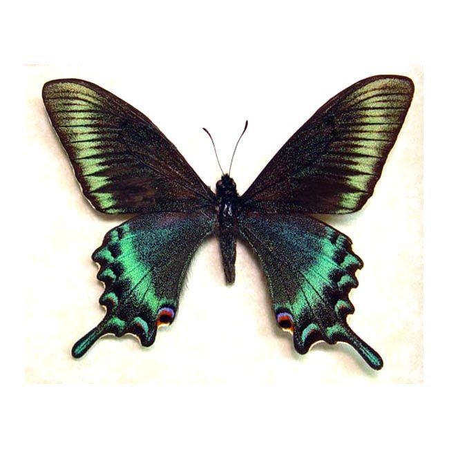 Butterfly Frame, Butterfly