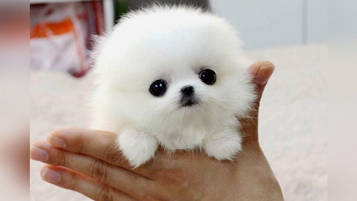 The Smallest Dog Breeds In The World Small Dog Breeds Dog