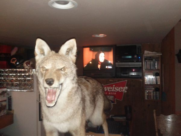 500 Demon Coyote Bad Taxidermy Dogs Coyote