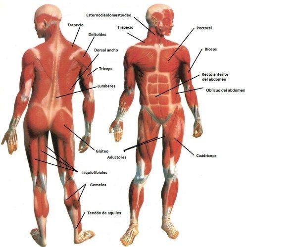 Músculos Del Cuerpo Humano | Doble Karma | Masoterapia | Pinterest ...