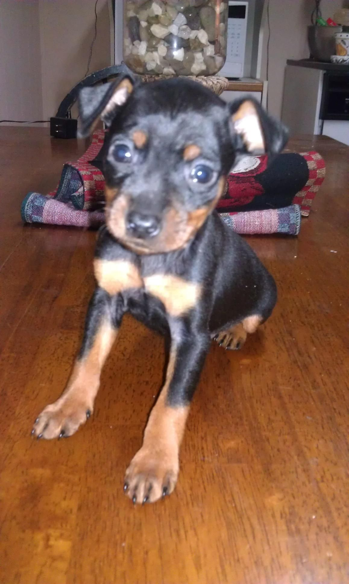 Min Pin can't wait to have another one of my own. :(