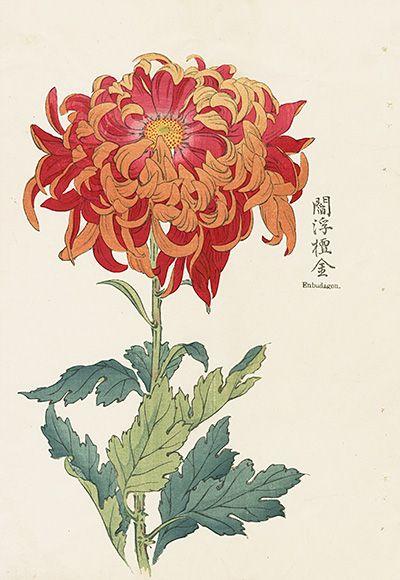 Vintage Japanese Woodblock Prints Japanese Woodblock Printing Japanese Chrysanthemum Botanical Drawings