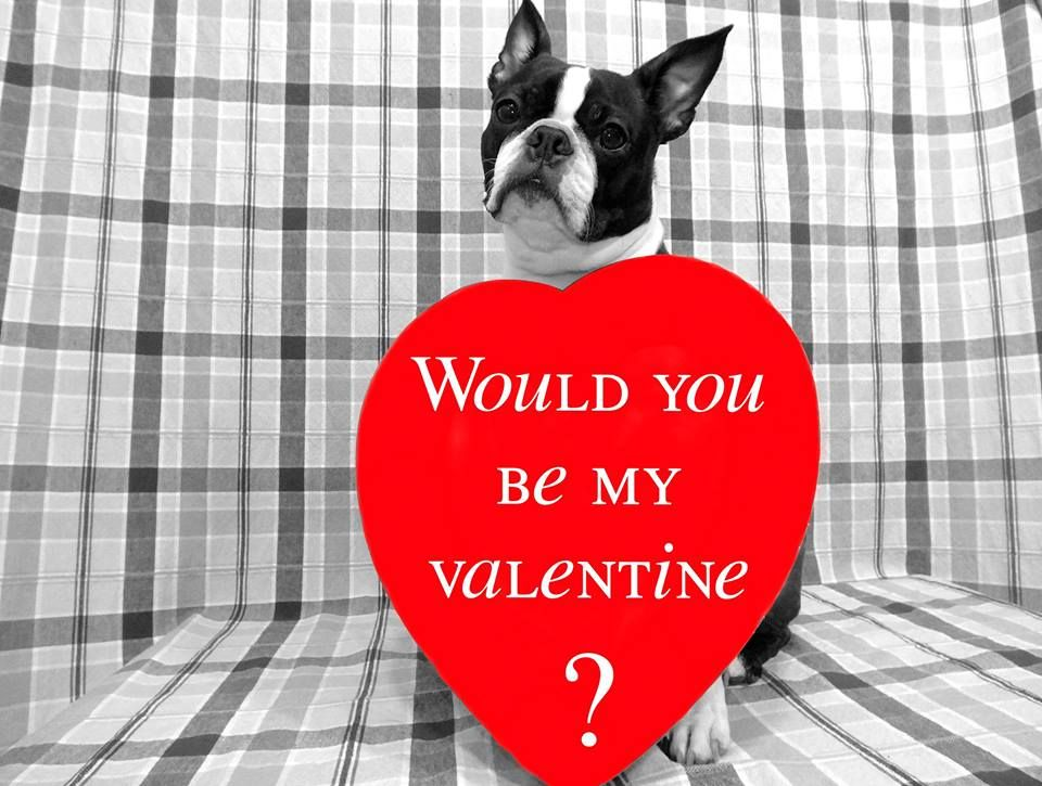 Happy Valentine S Day From Danny The Boston Terrier Photo Boston Terrier Terrier Boston Terrier Dog