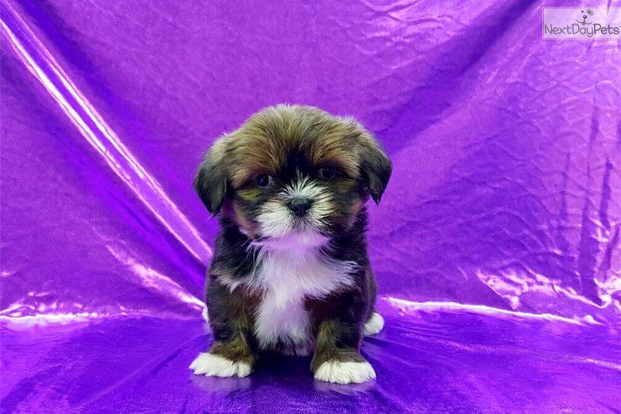 Lhasa Apso Puppy For Sale Near Mcallen Edinburg Texas 078ece51 C5f1 Lhasa Apso Lhasa Apso Puppies Puppies