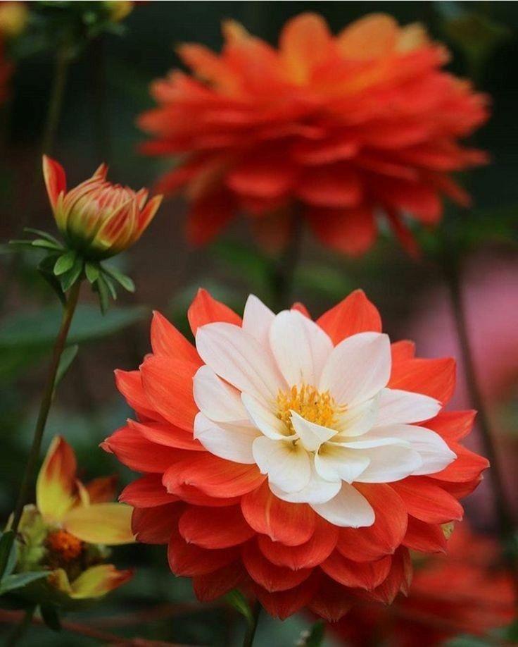 57 Amazing Beautiful Garden Ideas Inspiration And: Pin Di Inoska Basile Su Fiori Di Loto