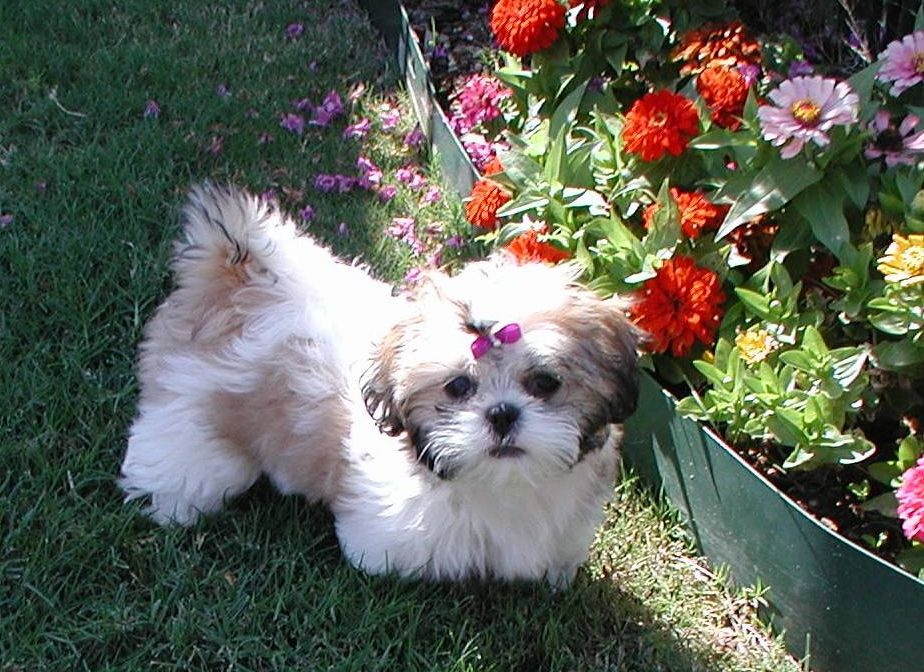 Shih Tzu Affectionate And Playful Shih Tzu Dog Shih Tzu Puppy Morkie Puppies