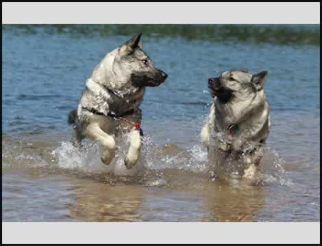 Norwegian Elkhound......in water!  Mine would never do this.
