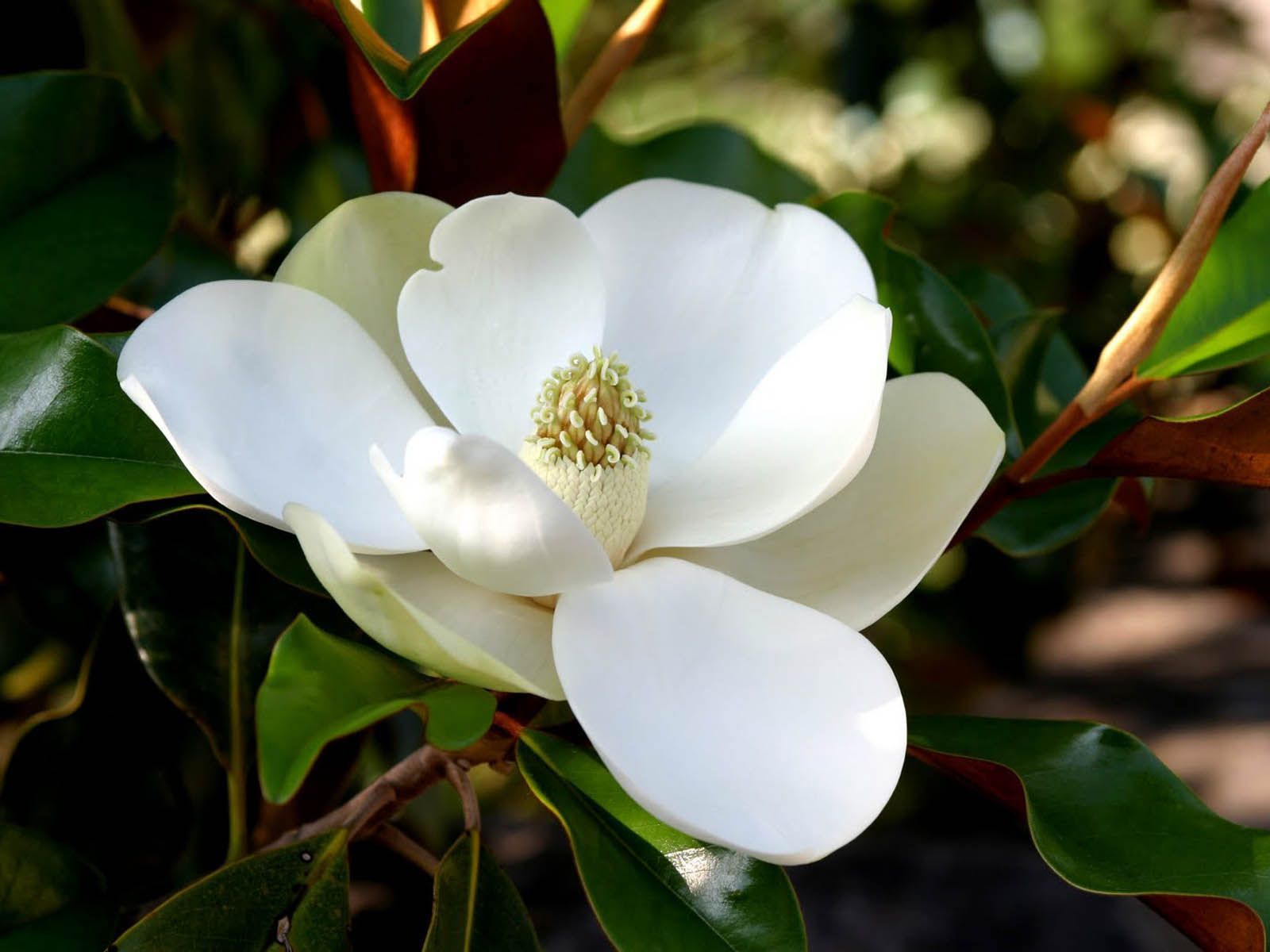 Wallpapers Southern Magnolia Flower Wallpapers My Style In 2019