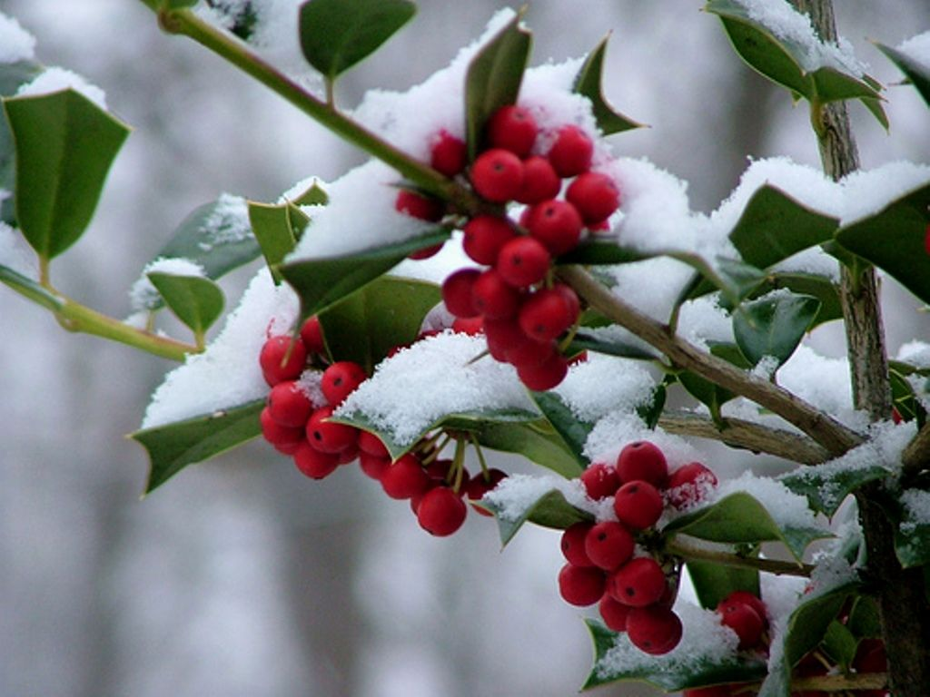 Image result for holly with snow and berries