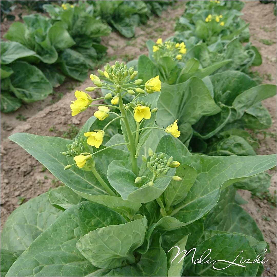 白菜 白菜が花を咲かせてしまいました ところが食べてみたらとても美味しいのですヽ()/ヽ()/ヽ()/ #白菜#배추 ...