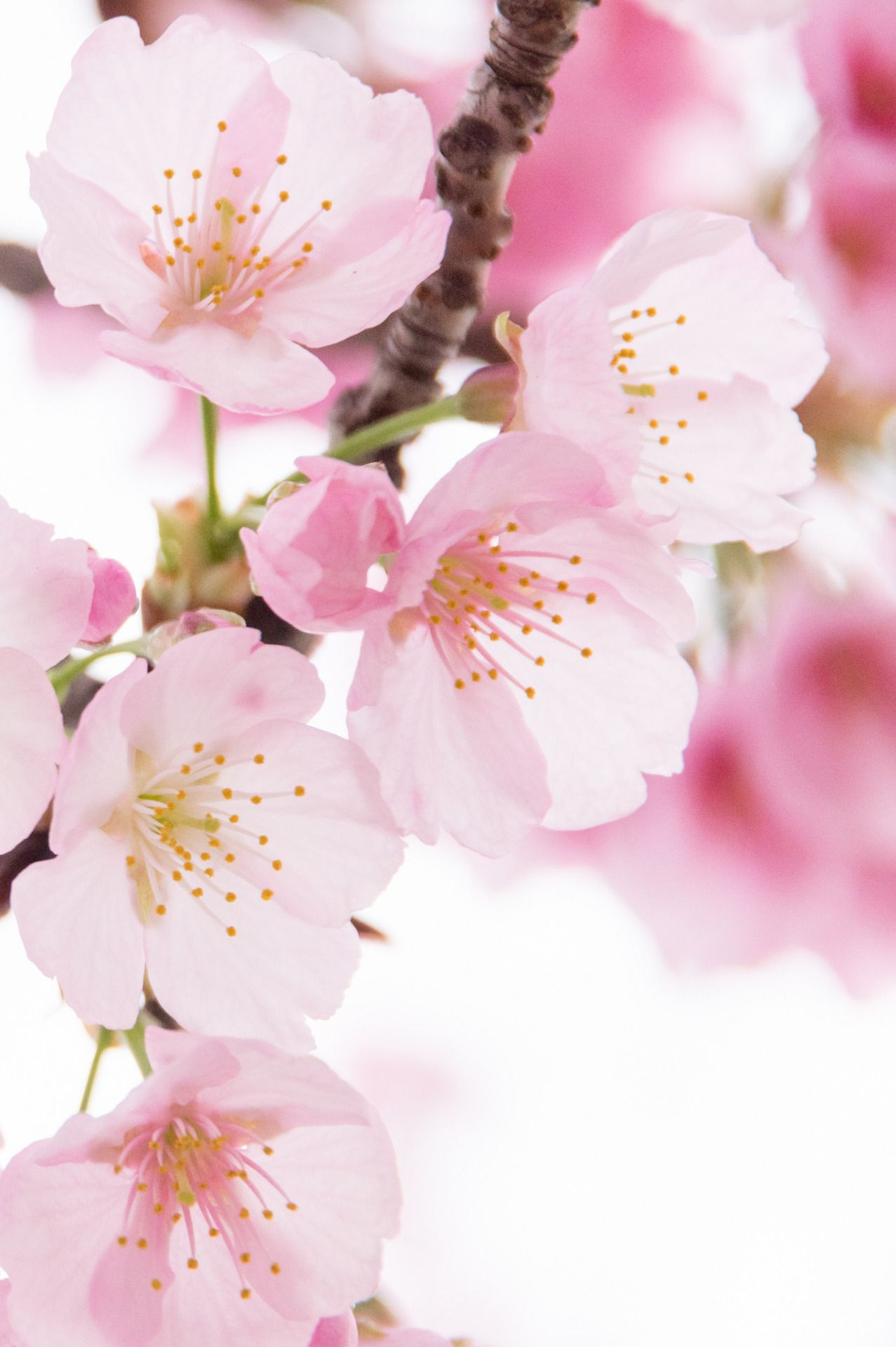 Path Of Bliss Cherry Blossom Flowers Flower Aesthetic Pretty Flowers