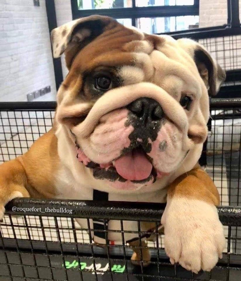 Grocery Shopping In 2020 Bulldog Puppies English Bulldog