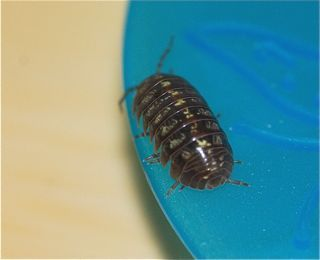science observation roly polies Science, tech, math  most kids have poked a pill bug to watch it roll up into a tight ball in fact, many people call them roly-polies for just this reason their .