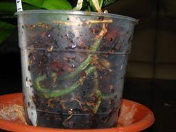 Conseils d 39 arrosage pour les orchid es comment arroser une orchid e garden dans mon jardin - Comment arroser une orchidee ...