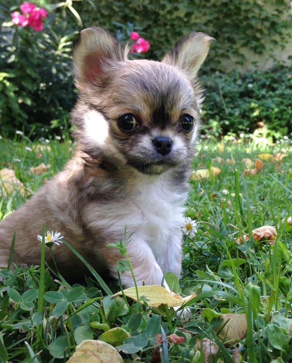 Chihuahua Dog Chiwawa Dog Information Cute Baby Animals Cute