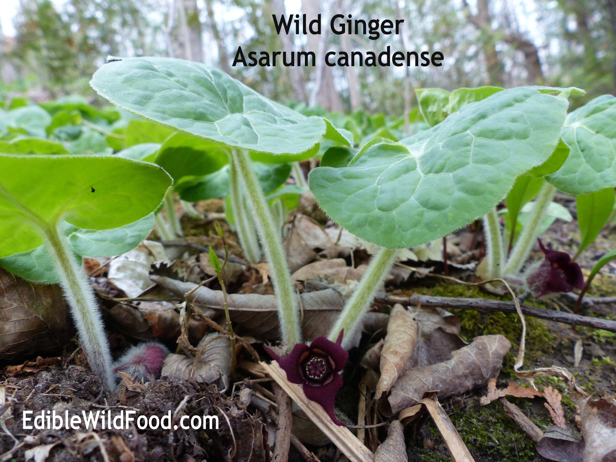 Western Wild Ginger Spices Up Shady Spots And Cook S Repertoire Wild Ginger Ginger Plant Native Plants