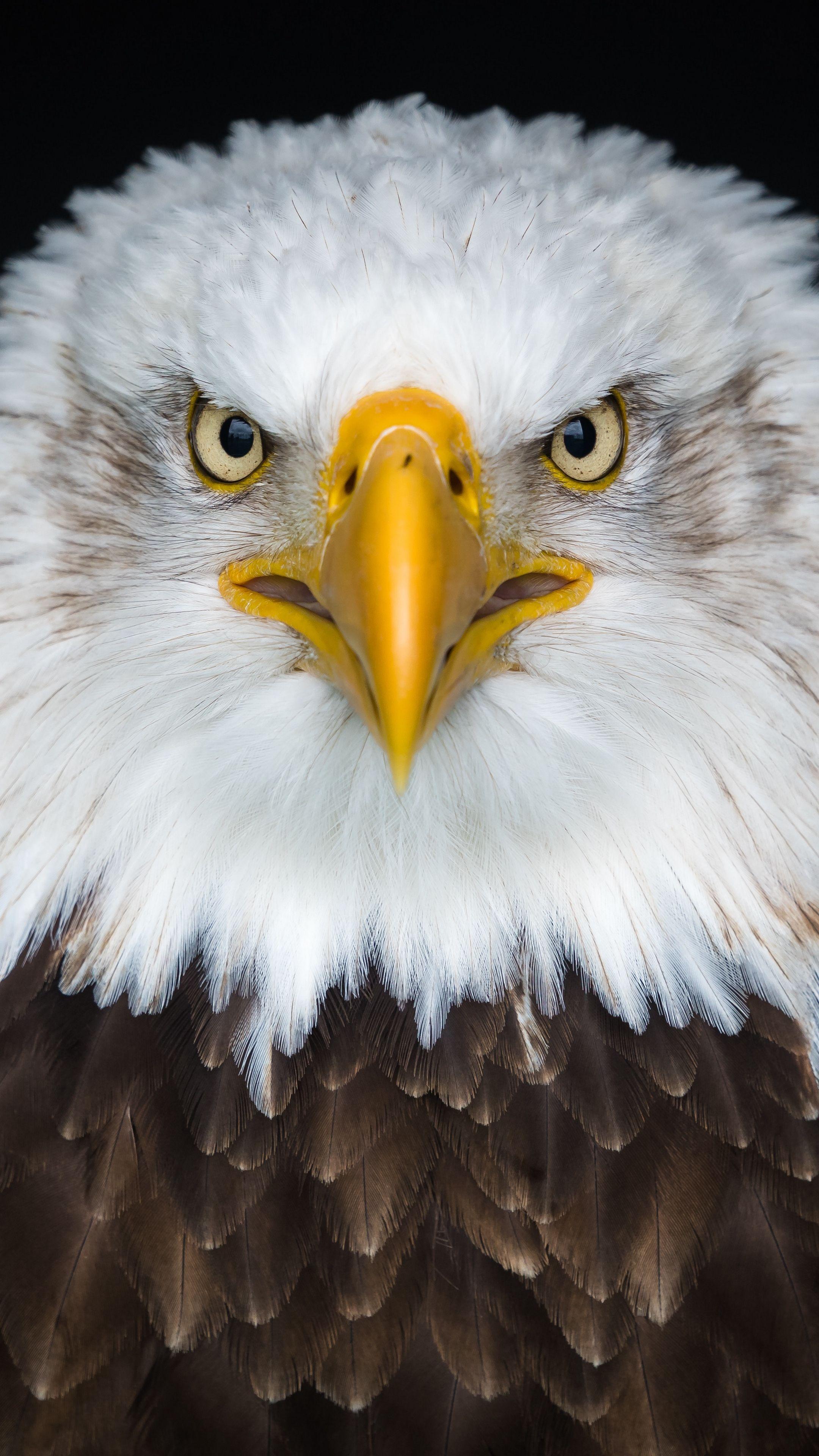 Animals baldeagle eagle bird wallpapers hd 4k