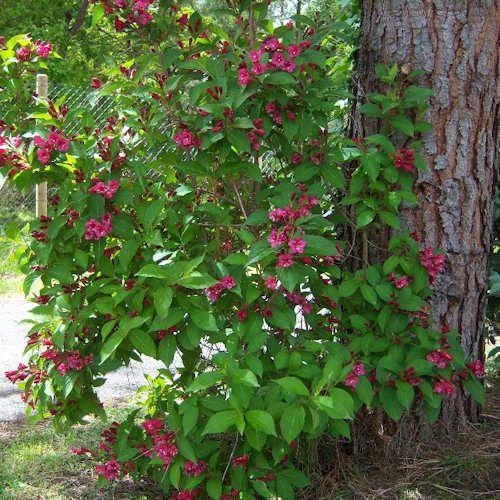 weigela bristol ruby jeune plante en motte ou alv oles. Black Bedroom Furniture Sets. Home Design Ideas