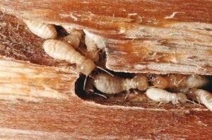 Como Acabar Con Las Termitas En La Pared Termitas En Madera Si Las Ves En Closets O Muebles Hechos De