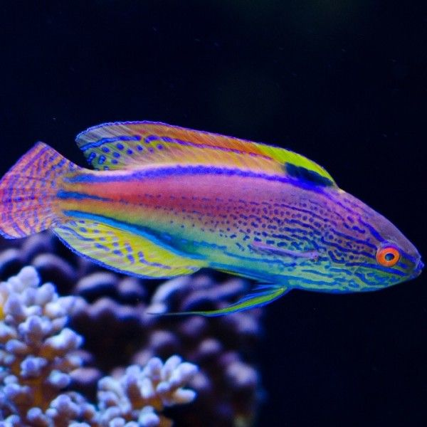 Lineatus Fairy Wrasse Wrasse Saltwater Fish Tanks Saltwater Aquarium Fish Saltwater Aquarium