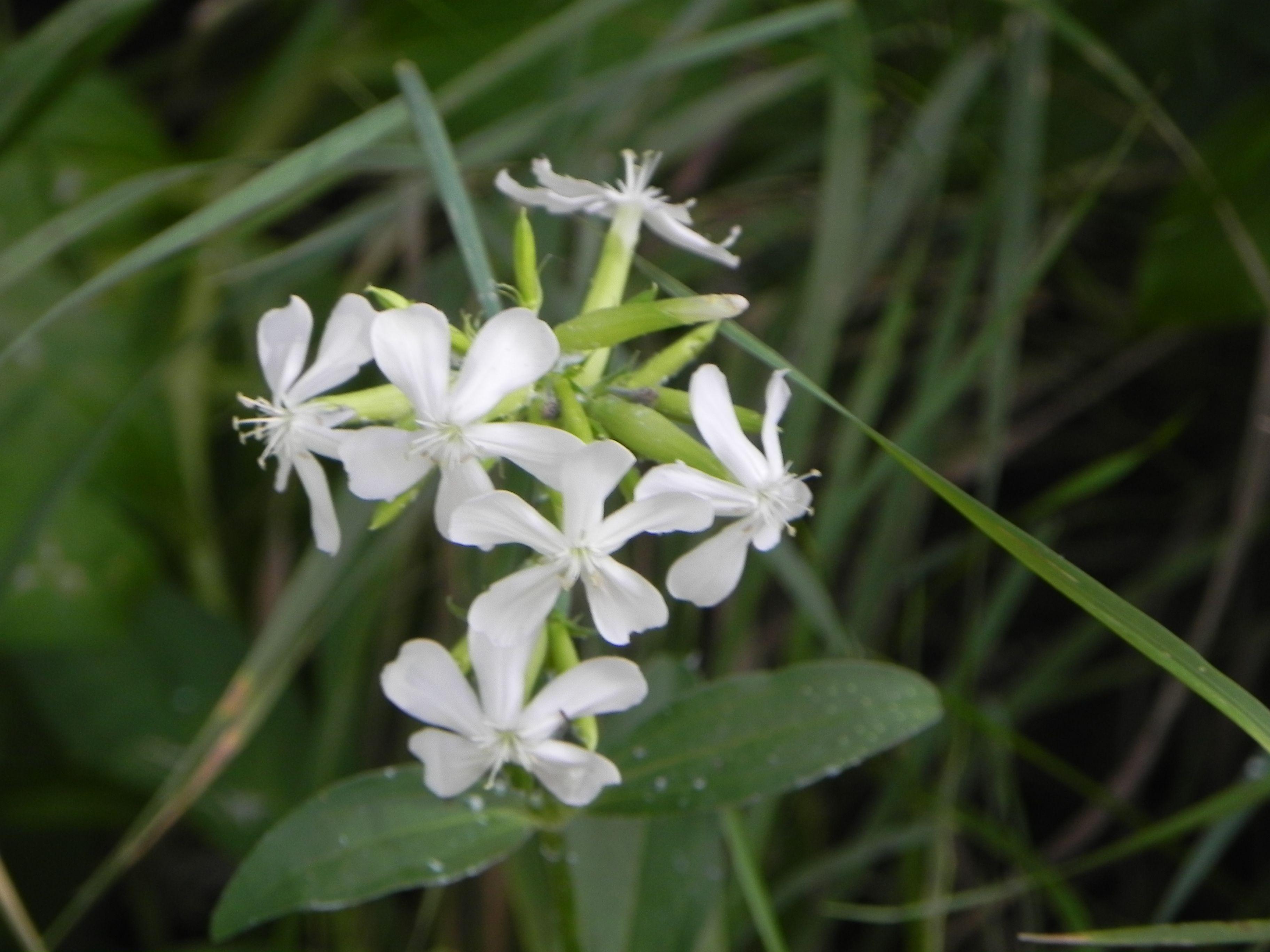 Wild Flower (2014-07-05) © Gianluigi Roda