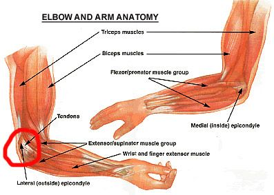 hand bone and    tendon    chart   Elbow    Tendonitis      Anatomy and Physical Therapy   Tendinitis elbow