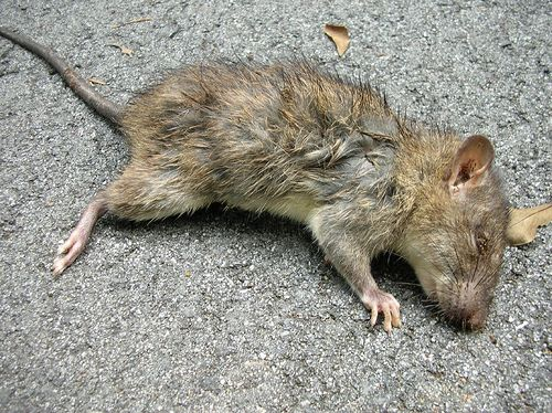 Someone Pointed Out That I Did Not Have A Dead Rat Picture On My Things You Find In Ditches Board What A Cri Dead Mouse Smell Getting Rid Of Mice Dead