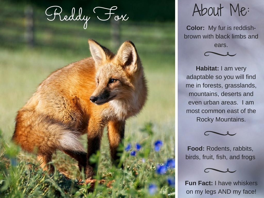 Reddy Fox