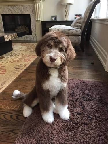 Tuuka F1 Standard Aussiedoodle Tri Colored Labradoodle Puppy
