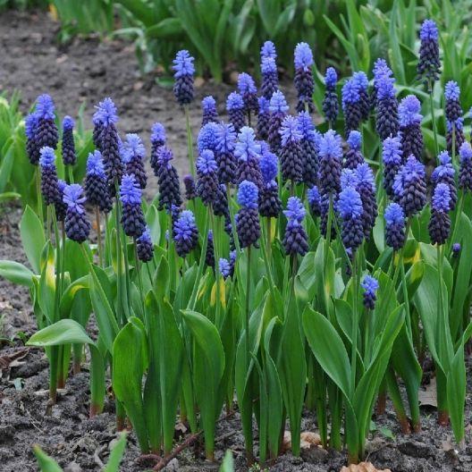 Latifolium Grape Hyacinth Bulbs Muscari Buy Bulk Muscari Bulbs At Edenbrothers Com Bulb Flowers Muscari Daffodil Bulbs