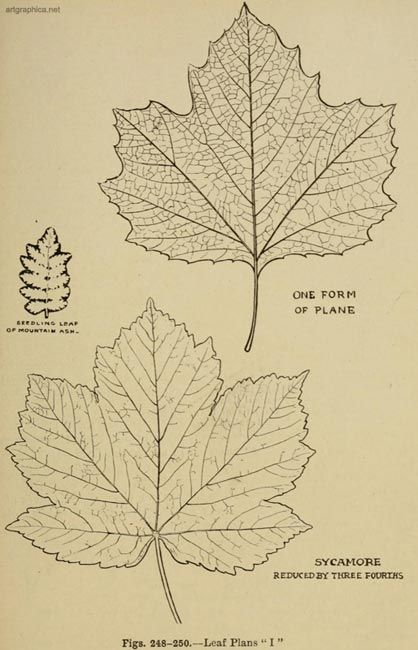 Sycamore Tree Leaves Leaf Drawing Sycamore Tree Tree Drawing