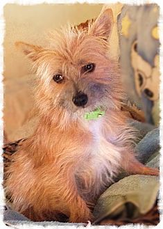 Pin By Legacynj On Dogs Like Sassafras Cairn Terrier Pets