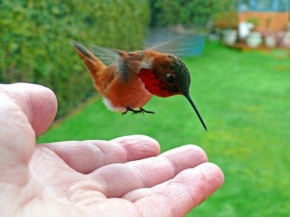 36cce5bdc595ec1f95cf8e6087c6cf29 - How To Get A Hummingbird To Land On Your Finger