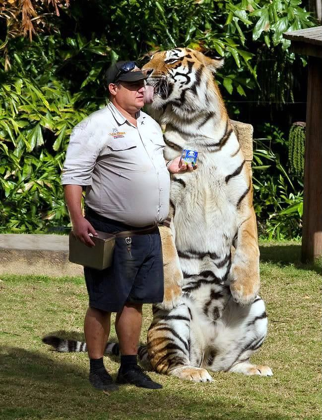 """""""The tiger (Panthera tigris) is the largest cat species"""