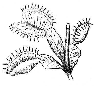 Venus Flytrap Color Page Botany Fly Traps Venus Flytrap Tattoo
