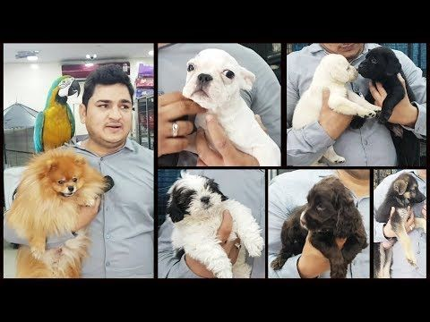 Labrador Retriever Puppies Price In Hyderabad Dogs For Sale At