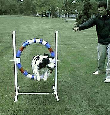 Dog . Agility TrainingDog ...
