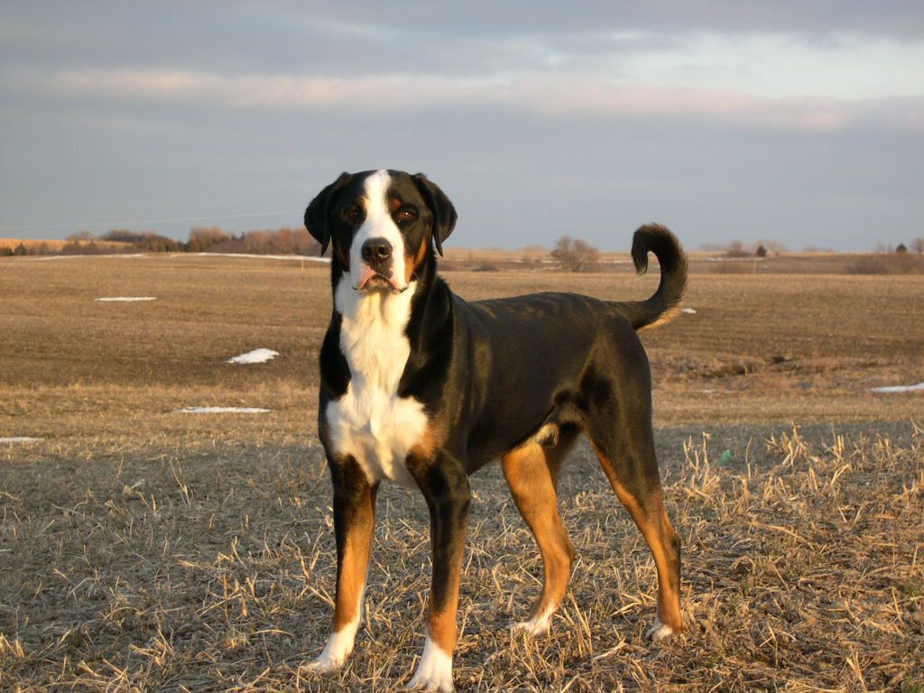Greater Swiss Mountain Dog Entlebucher Mountain Dog Great Swiss Mountain Dog Greater Swiss Mountain Dog