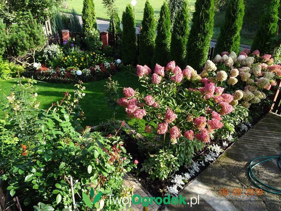 Kwitnace Hortensje Plants