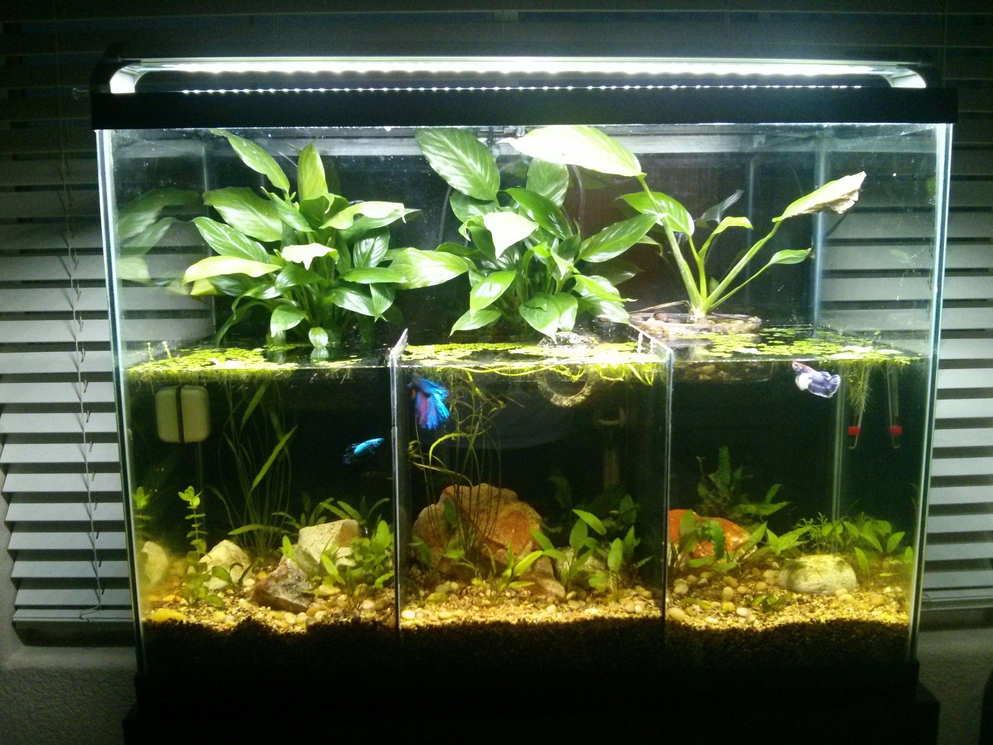 Betta riparium aquariums pinterest betta aquariums and fish betta riparium reviewsmspy