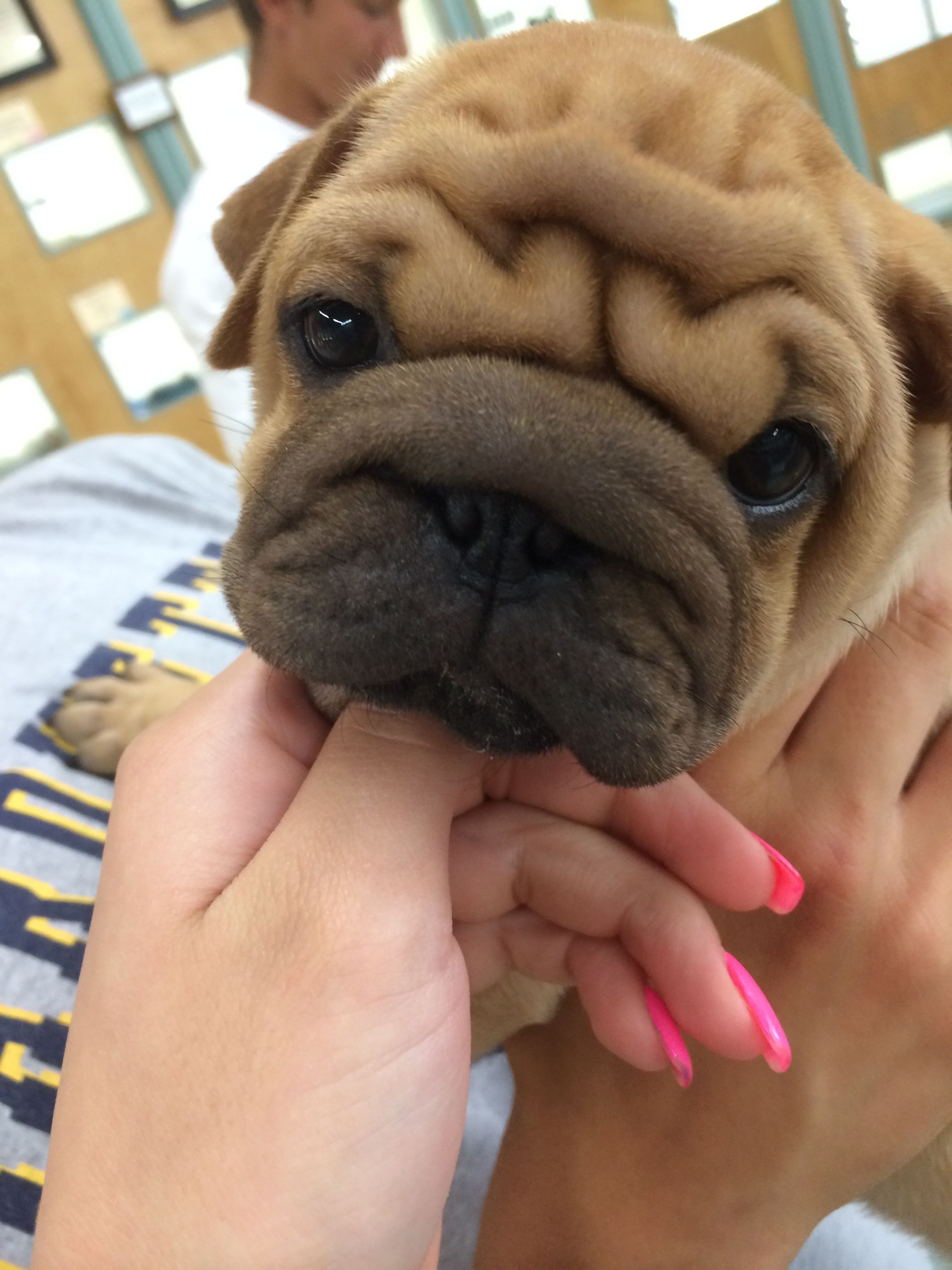Ori Pei Shar Pei Pug Wrinkly Dog Pug Mixed Breeds Shar