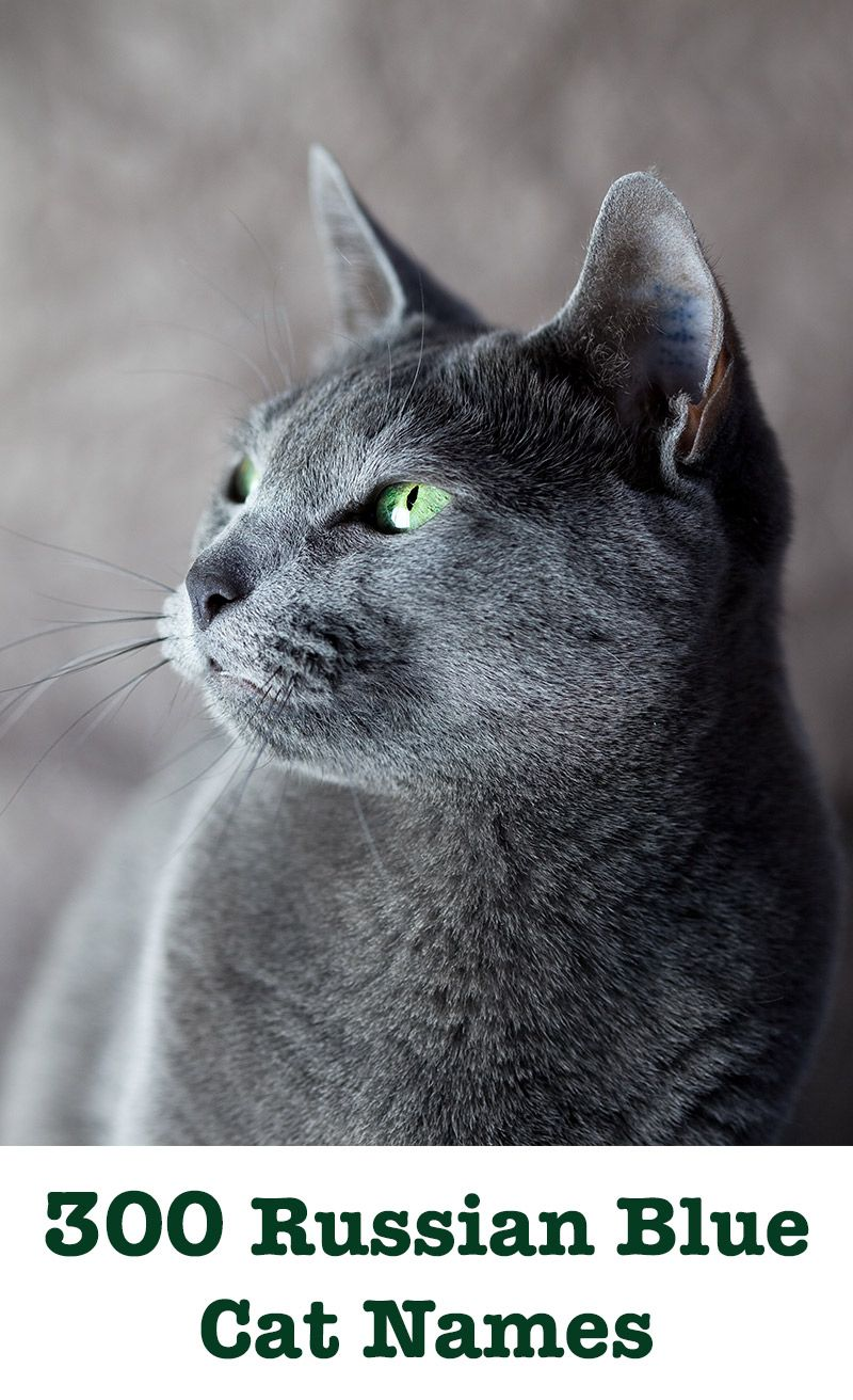 Russian Blue Cat Names 300 Brilliant Russian Cat Name