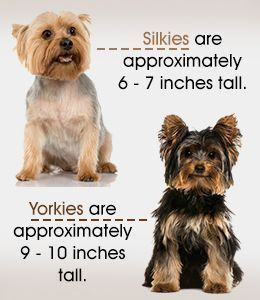Silky Terriers And Yorkshire