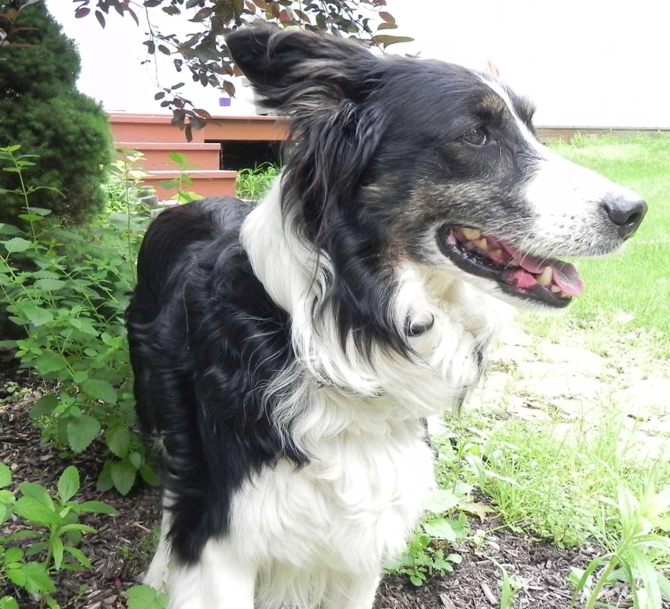 Found Dog Border Collie Ashland, OH, United States