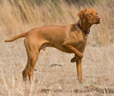 Vizsla Vizsla Dog Breeds Formosan Mountain Dog
