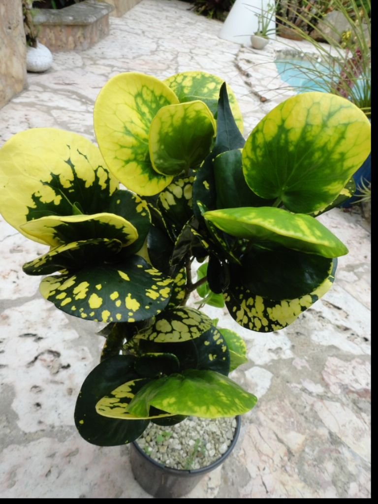 Yellow Thai Croton (Codiaeum variegatum). Leaves fall off