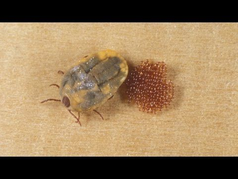 Brown Dog Ticks Are Resistant To Permethrin Study Finds