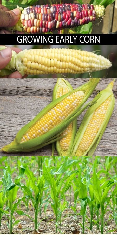 Growing Early Corn Two Delicious Varieties Reviewed Video Pinterest Plants And Gardens