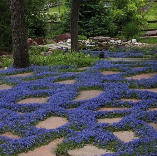 1000pcs//bag Purple Creeping Thyme Seeds or YELLOW ROCK CRESS Seeds Ground cover